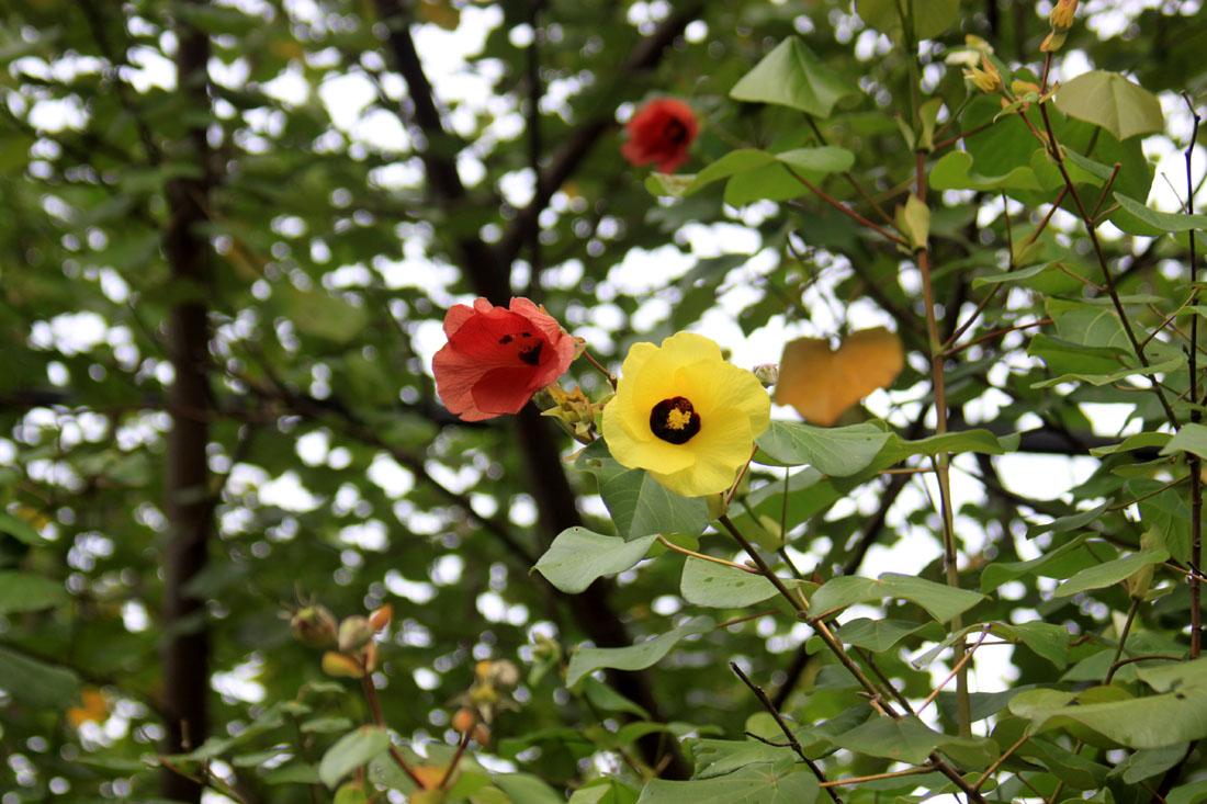 Hibiscus tileaceus