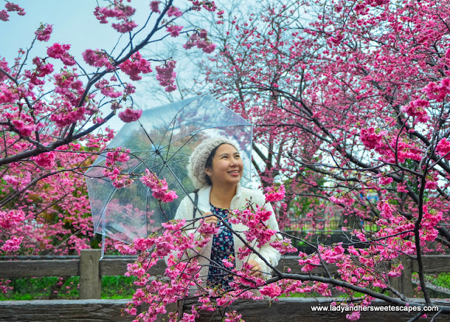cherry blossoms viewing in Taiwan