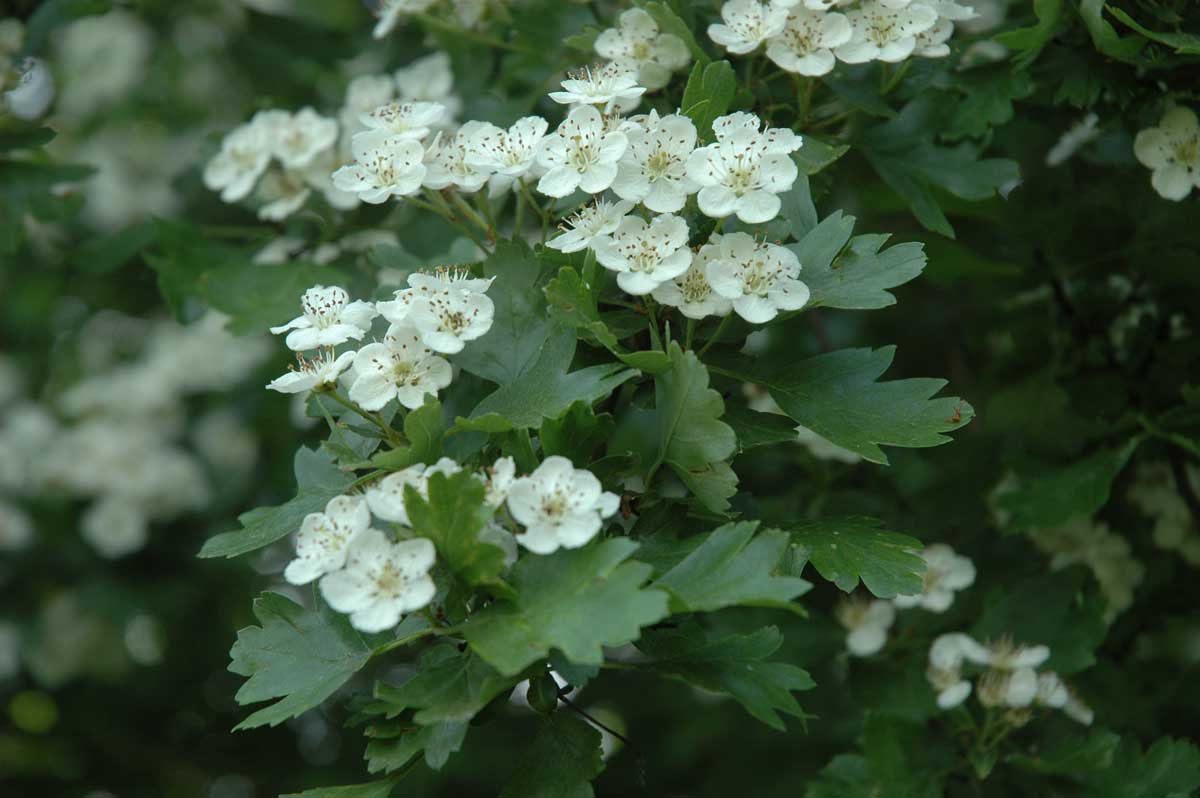 Osteonimaux blog fiche plante aub pine for Plante arbuste