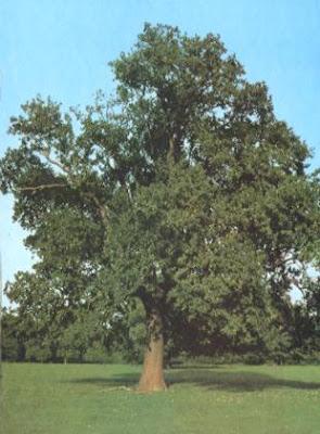 roble euroepo Quercus robur