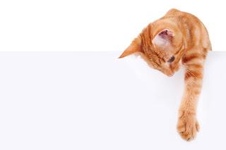 Orange tabby cat reaching over white board_Adobe Stock