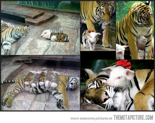 mother tiger adopts piglets