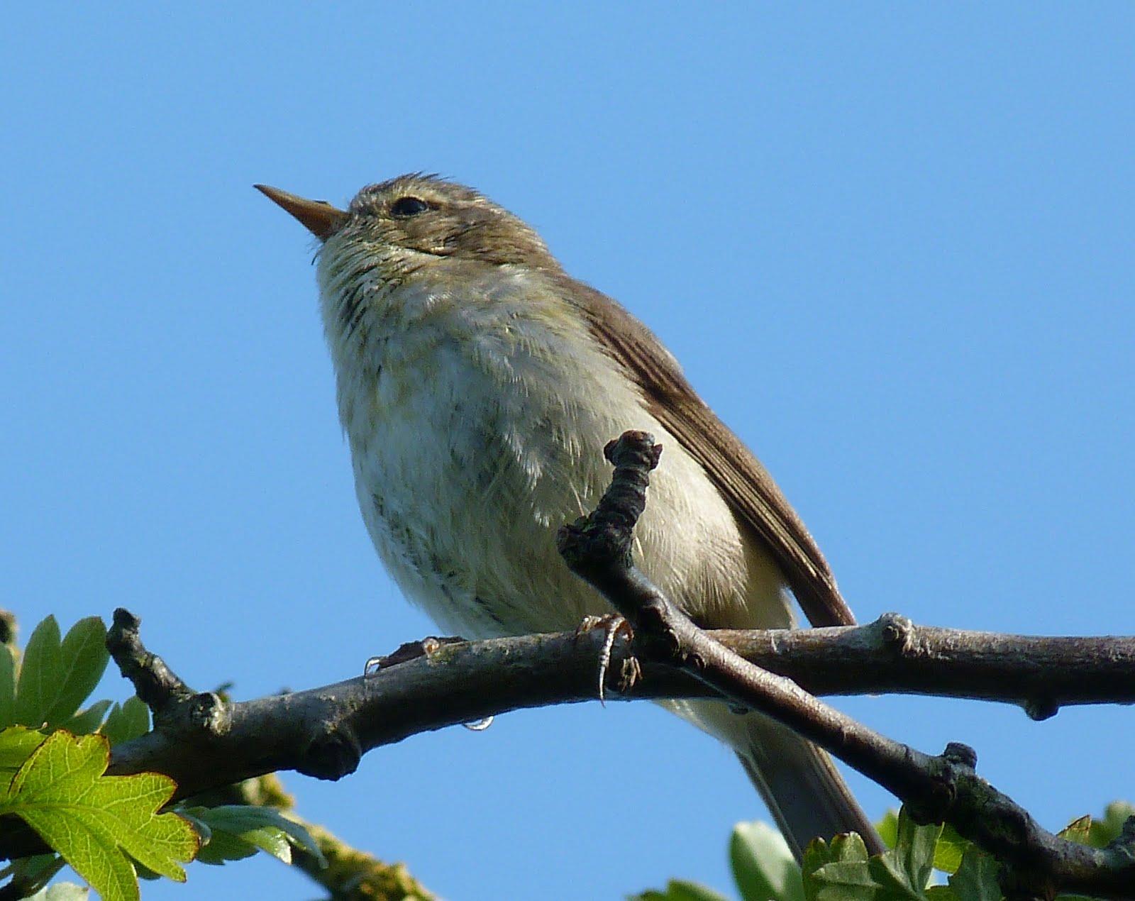 BOC bird sightings: Sightings 13/6/11