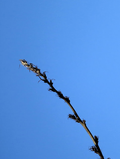 Turkey oak twig, high in a tree, against blue sky.