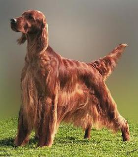 raza de perro setter irlandes