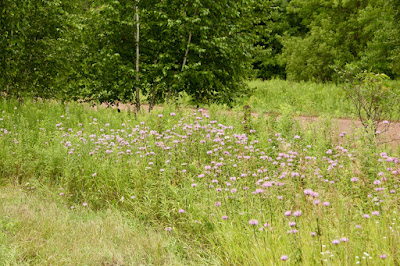 roadside field of wild bergamot
