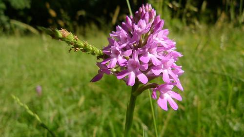 Wild Orchid, Chudleigh Rocks, Devon