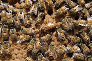 Beternak Lebah