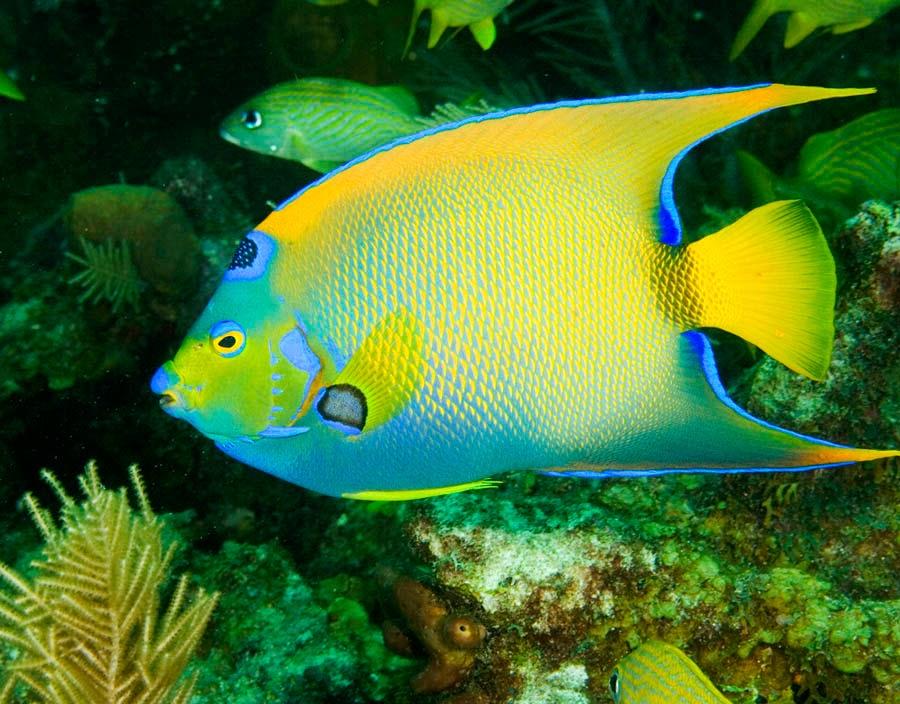 Queen angelfish | Wild Life Animal