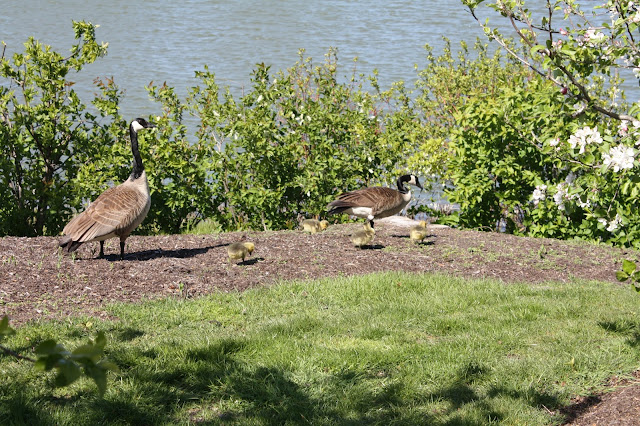 Goose family at Chicago Botanic Garden