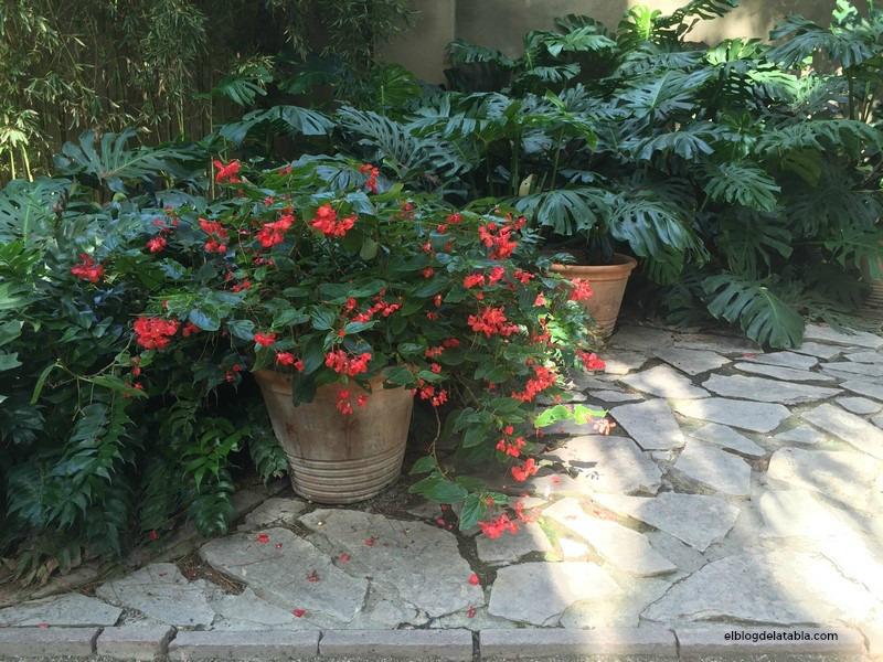 Begonia híbrida 'Dragon Wing' Jardín Botánico de Valencia