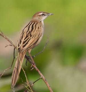 Burung Ciblek - Jenis Burung Ciblek Mealurus Palustristokloa - Penangkaran Burung Ciblek