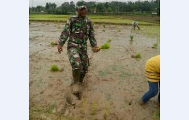 Penuh Semangat Kopda H. Siringoringo Dampngi Haloho Menanam Padi di Desa Teluk Binjai