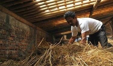 Fermentasi Jerami Untuk Pakan Ternak Sapi