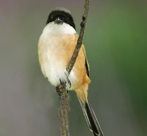 Animal Pets Burung Pentet Bird