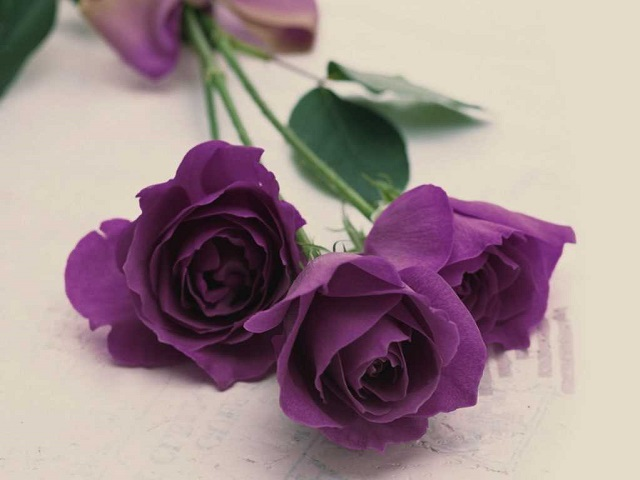 hoa hồng tím