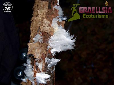 Pelo de Hielo (Exidiopsis effusa)