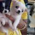 ลูกสุนัขมีหลายตัวค่ะ ปอมผสมชิสุ ชิสุ ชิวาวา