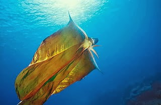 Image showing a blanket octopus