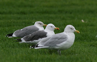 Comparison of Yellow-legged Gull, Lesser Black-backed Gull and American Herring Gull in Newfoundland