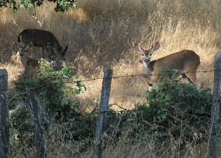 Three deer dining on oak leaves alongside Mt. Hamilton Road, San Jose, California