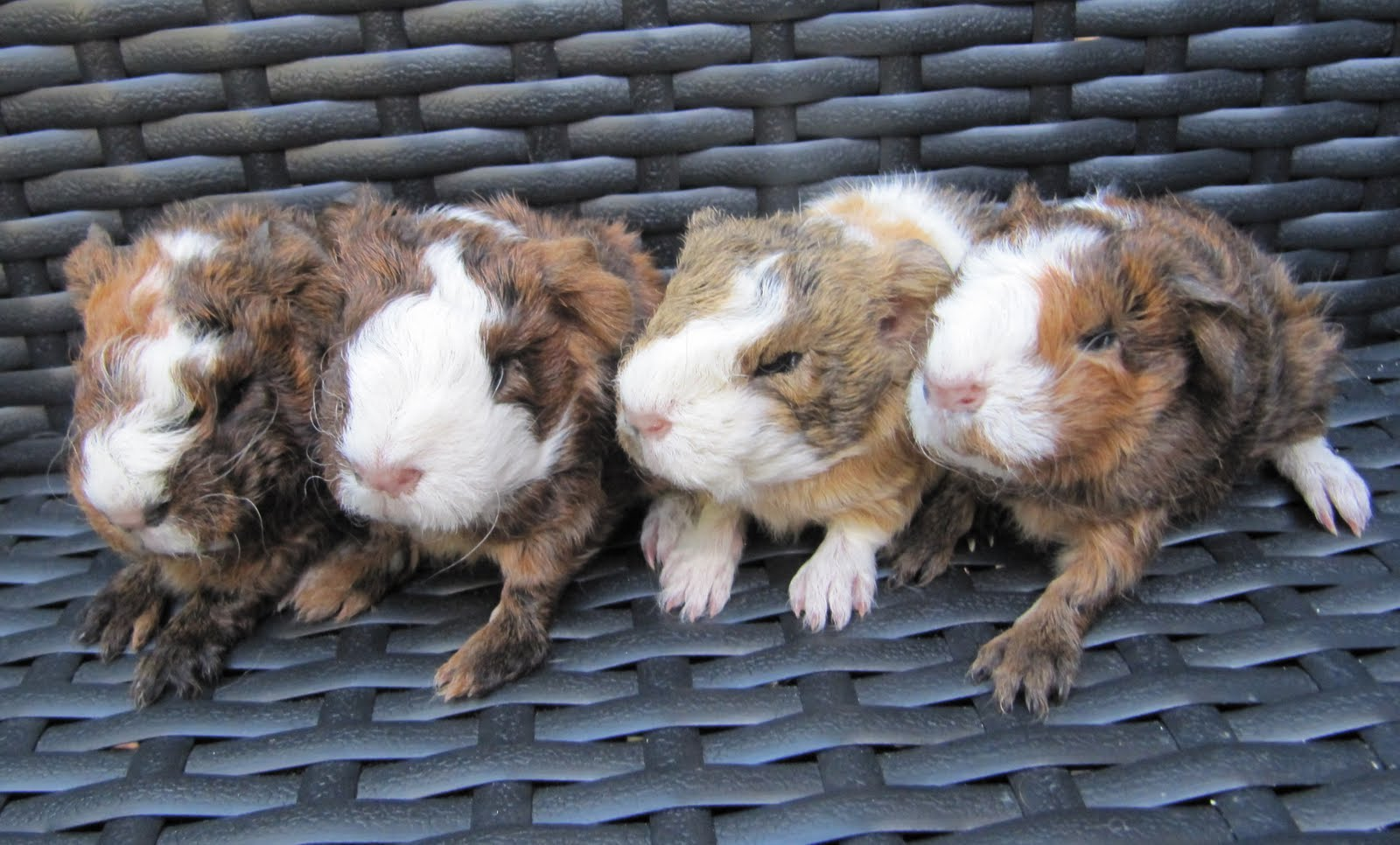 All Things Guinea Pig: Breeding Info