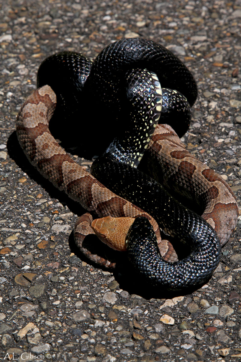 California kingsnake fights a rattlesnake. |King Snake Vs Rattlesnake