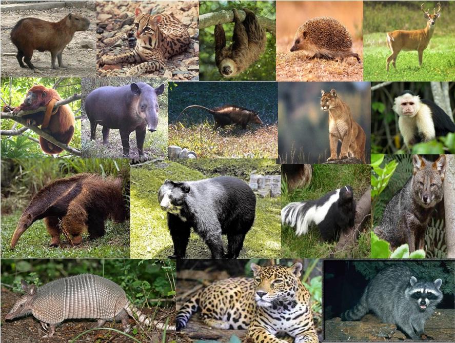 Levantamento da Fauna Silvestre de Mamíferos do Município de Tupi Paulista e Dracena.