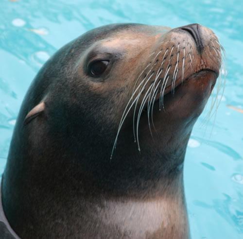 Sea lion   The Life of Animals