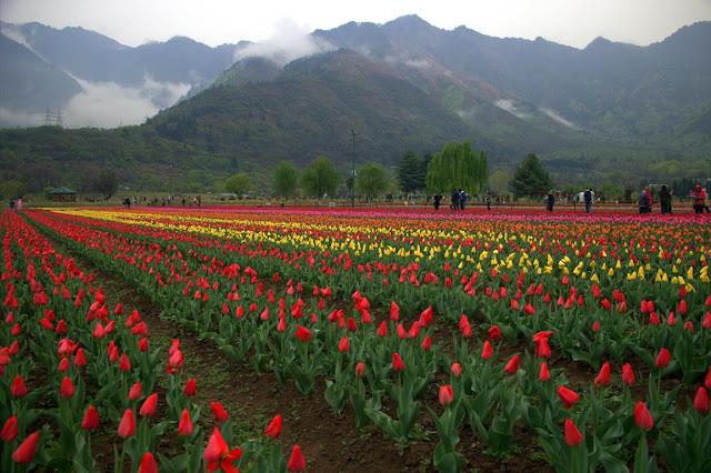 tulips garden srinagar kashmir india