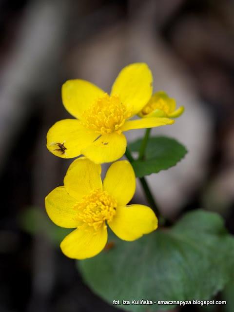 kaczence, kwiatki, wiosna, caltha palustris, las, prosto z lasu, rosliny wiosenne, kwiat, kaczeniec, las bemowski, spacer po lesie
