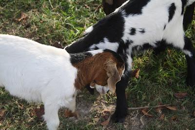 goats varadero cuba