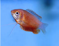 Gourami Thicklip, jenis jenis ikan gourami