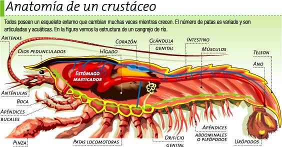 BIOLOGÍA Y GEOLOGÍA 1º ESO: Anatomía de un crustáceo