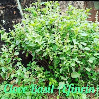 How to Use Clove Basil (Efinrin) to Cure fever; Piles; Back pain; Diabetes, and Other Remedies