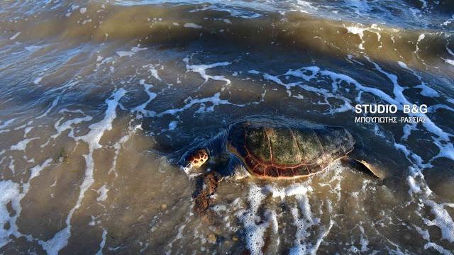 Νεκρή θαλάσσια πρασινοχελώνα στις Σπέτσες