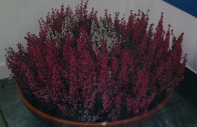 вереск в миске цветущий круглый год