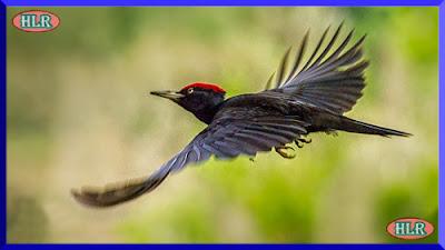 Pito negro volando