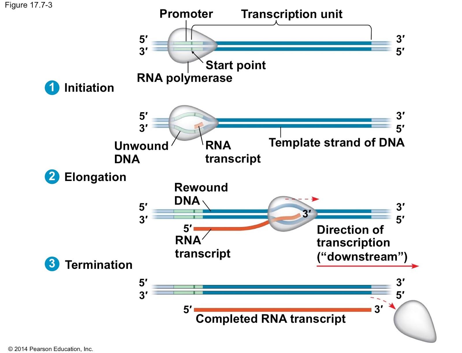 transcription process steps