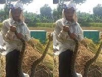 Musim Panen, Petani Ponorogo Tangkap Ular Phyton Besar