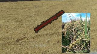 Jenis dan varietas tanaman padi (Hibrida,Unggul,Lokal)