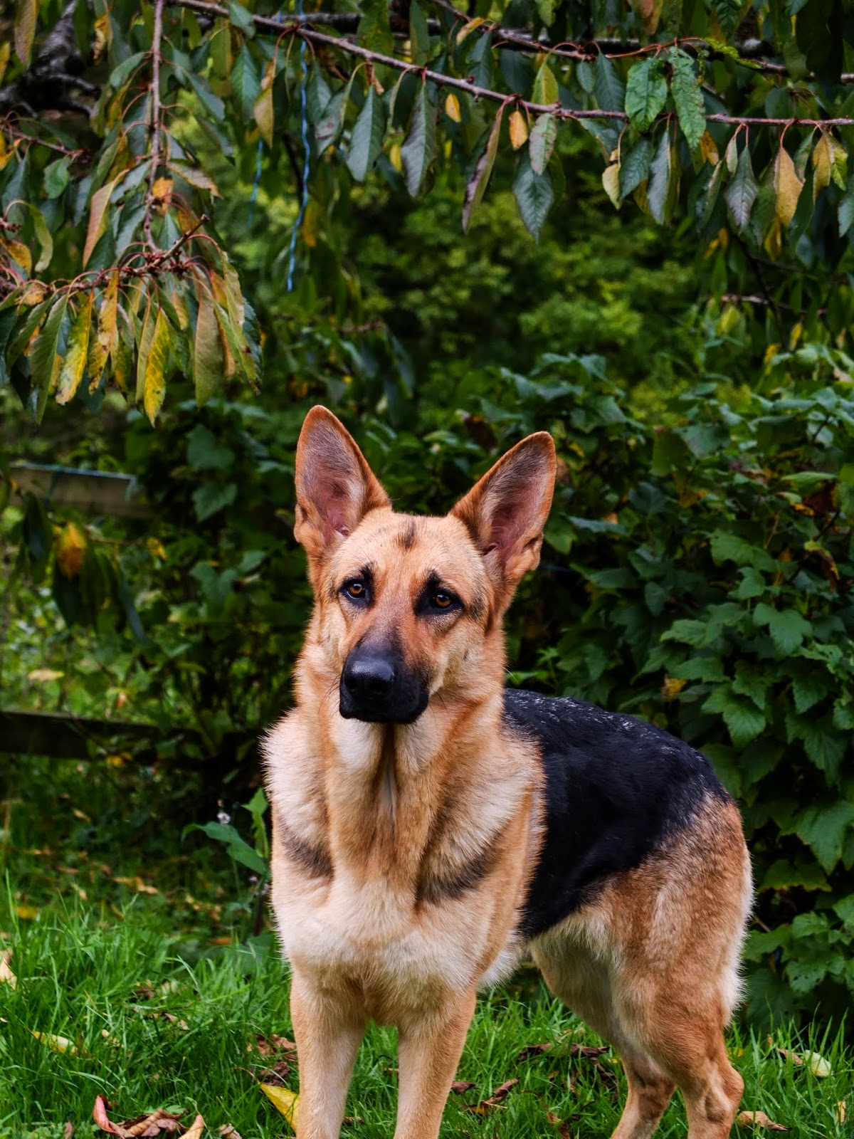 A 1 year and 9 month old German Shepherd Nala standing on grass under a cherry tree.