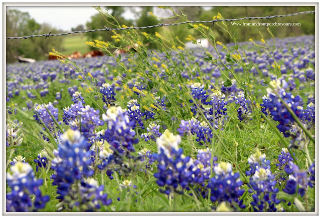 Texas Bluebonnets-Field of Bluebonnets-Wildflowers-From My Front Porch To Yours