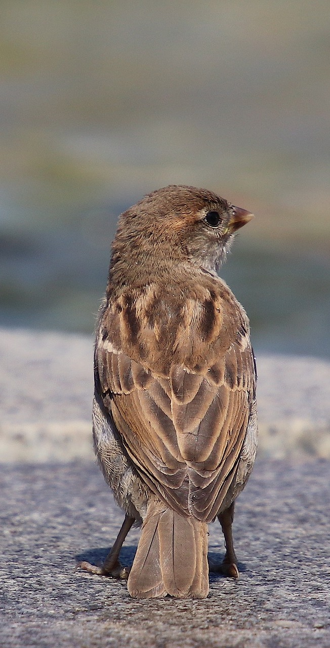 A sparrow on a pavement.