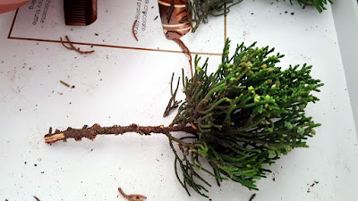 hollywood juniper cutting