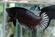 960 Koleksi Gambar Ikan Cupang Aduan Yang Bagus Gratis