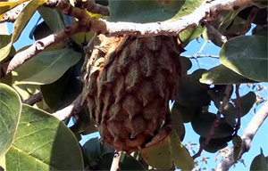 Araticum (Annona coriácea)