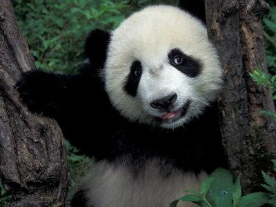 Happy Birthday Animated Wallpaper Animals Wallpapers Panda Photobucket Dancing Panda