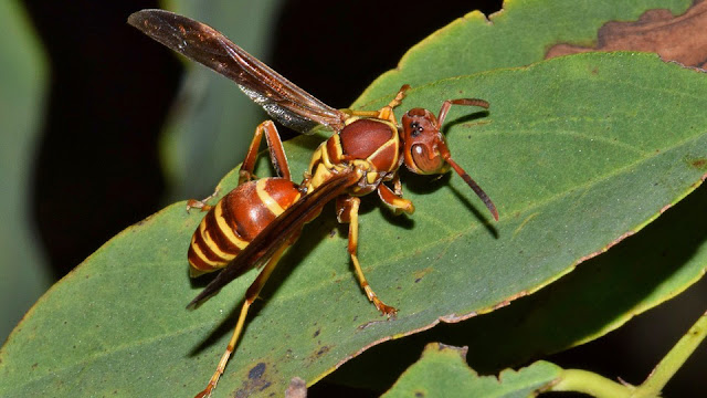 5 Perbedaan Tawon Dan Lebah