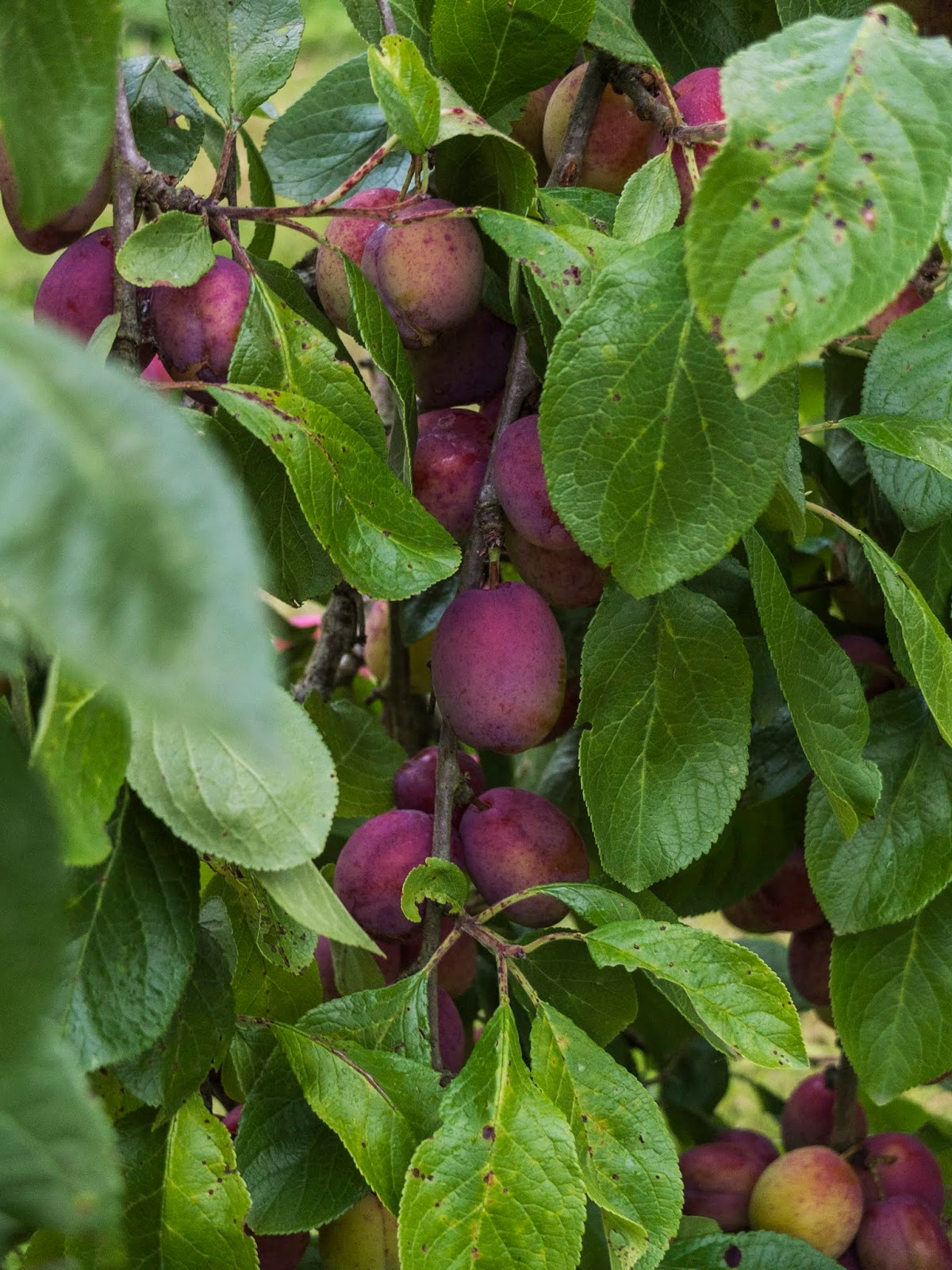 A close up of plums among branches and leaves in a tree.